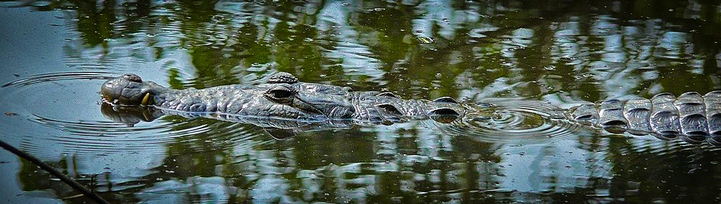 Belize crocodile hoping to dine on tourists / EnjoyLivingAbroad.com