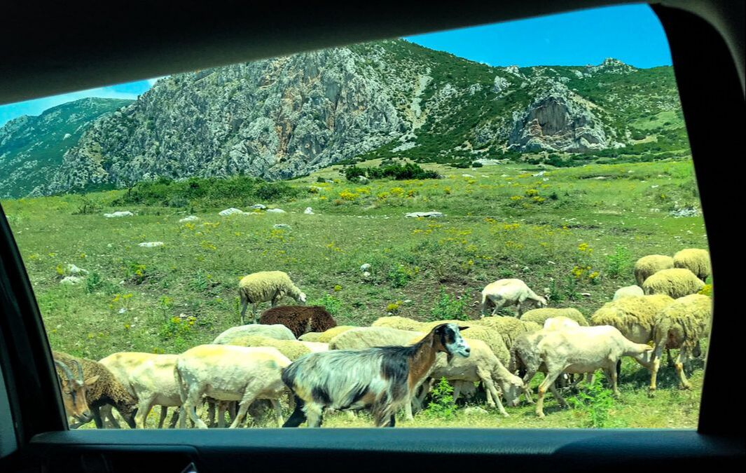 Sheep and goats / Albania: Your Next Vacation Destination? / Karen McCann / EnjoyLivingAbroad.com
